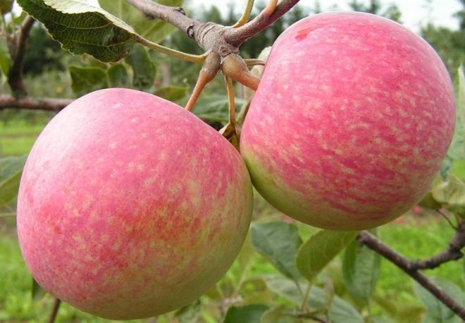 Яблоня штрифель. введение. характеристика сорта.