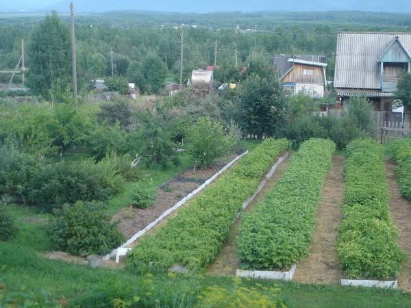 Удивительные грядки игоря лядова: раскрываем секреты высокой урожайности