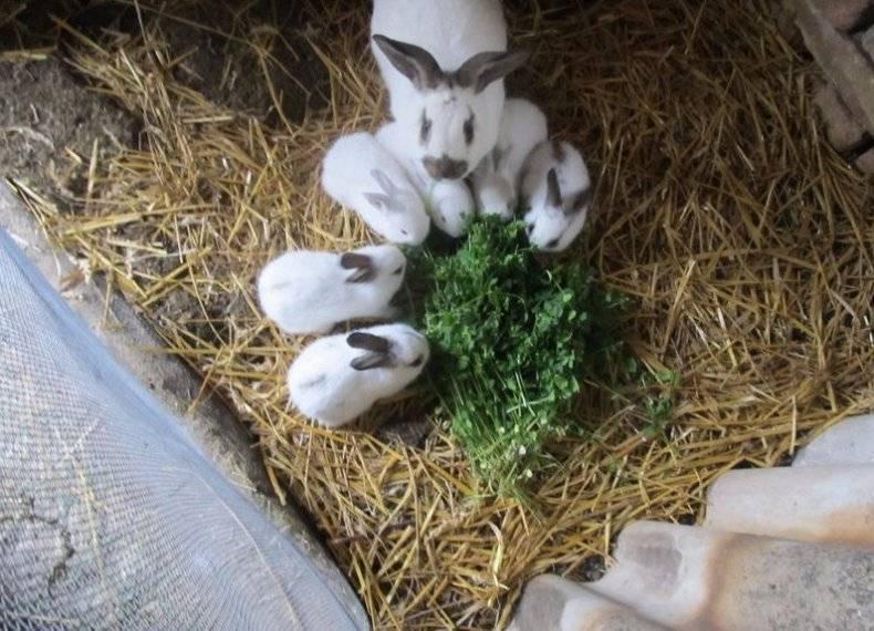 ᐉ когда отсаживать крольчат от крольчихи, в каком возрасте лучше это делать? - zooon.ru