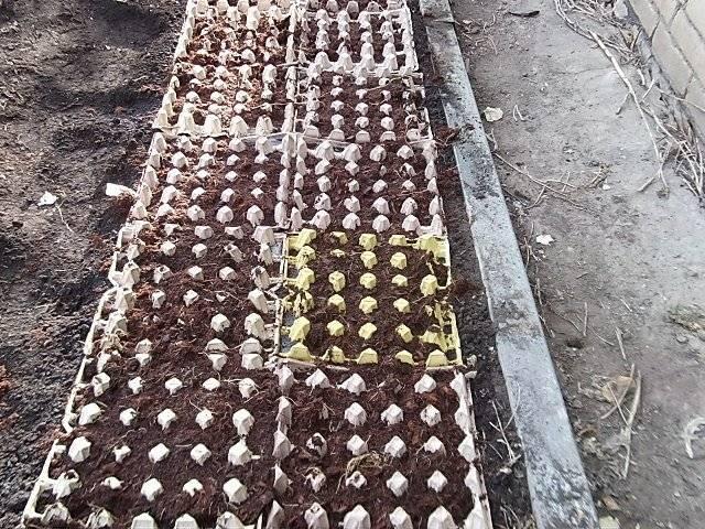 Как посадить морковь с помощью ячейки для яиц - da4nikpro