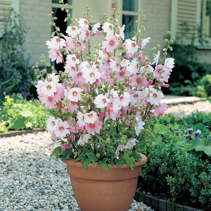 Лаватера выращивание из семян когда сажать посадка и уход в открытом грунте фото цветов на клумбе
