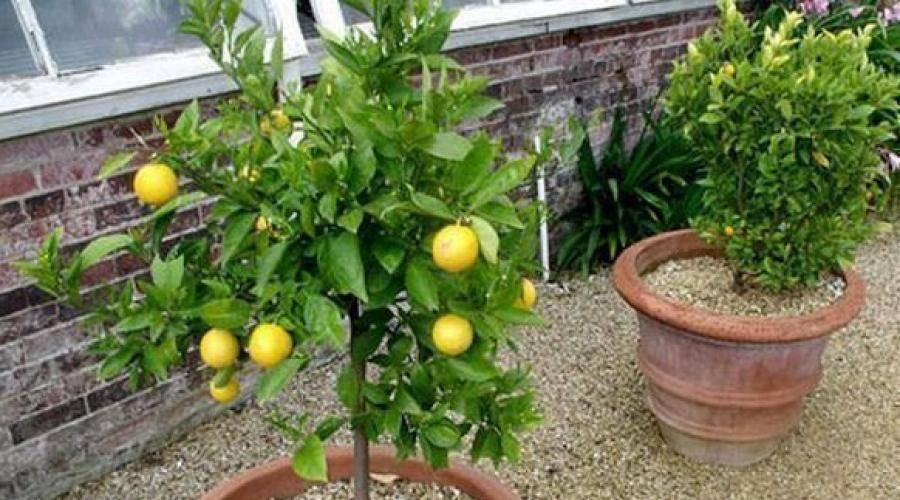 Когда нужно обрезать лимон и как правильно это делать? нюансы и сложности процедуры