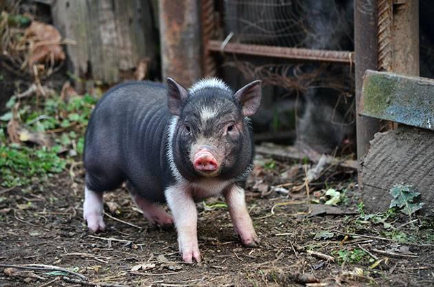 Содержание свиней: правила выращивания свиней в домашних условиях