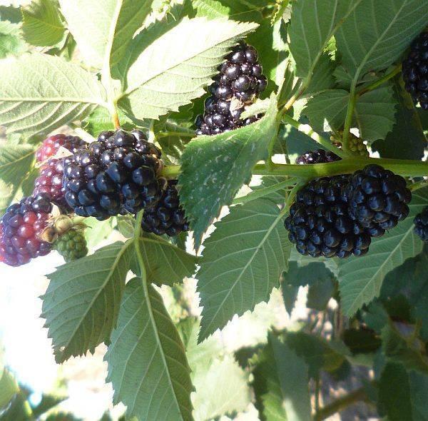 Ежевика прайм арк фридом: секреты выращивания сорта