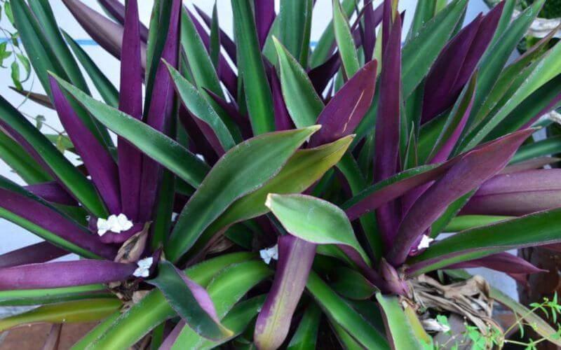 Цветок рео: уход в домашних условиях, методы размножения, болезни и вредители при неправильном уходе