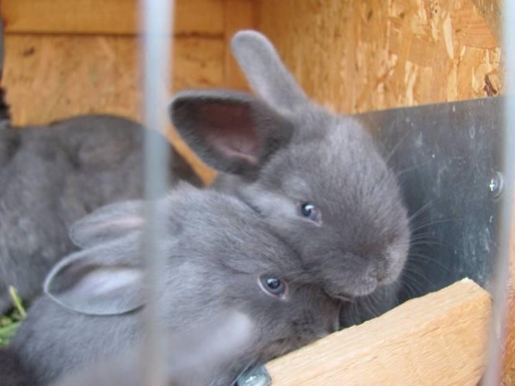 Венская голубая порода кроликов: красота и продуктивность