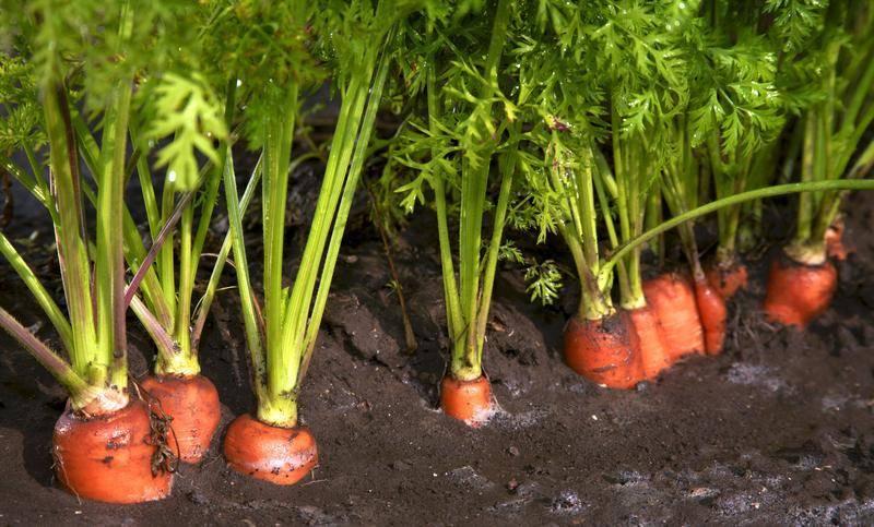 Посев моркови в открытый грунт весной