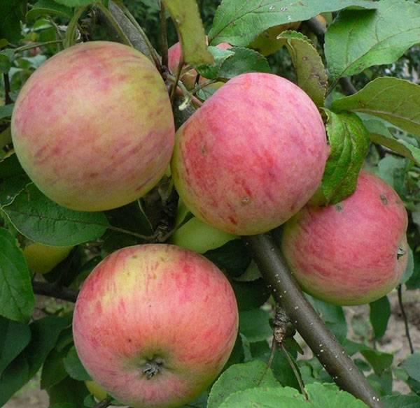 Сорт яблок штрейфлинг описание, фото, отзывы
