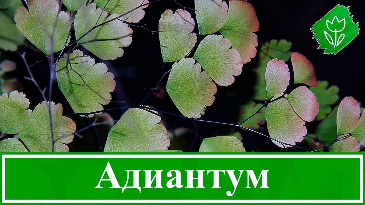 Адиантум (adiantum). описание, виды и уход за адиантумом