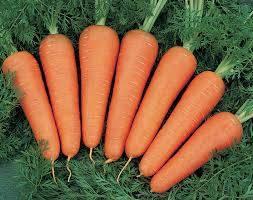 Морковь дордонь: описание и характеристика, отличительные черты и история селекционирования, достоинства и недостатки, а также нюансы выращивания и похожие сорта русский фермер
