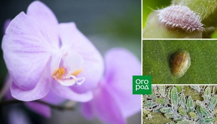 Тля на орхидее: причины появления, методы борьбы, профилактика