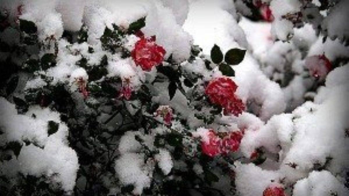 Как укрыть розы на зиму? подготовка роз к зиме, уход за ними осенью. как правильно укрывать розы и при какой температуре это делать?