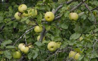 Яблоня антоновка: описание, фото, отзывы