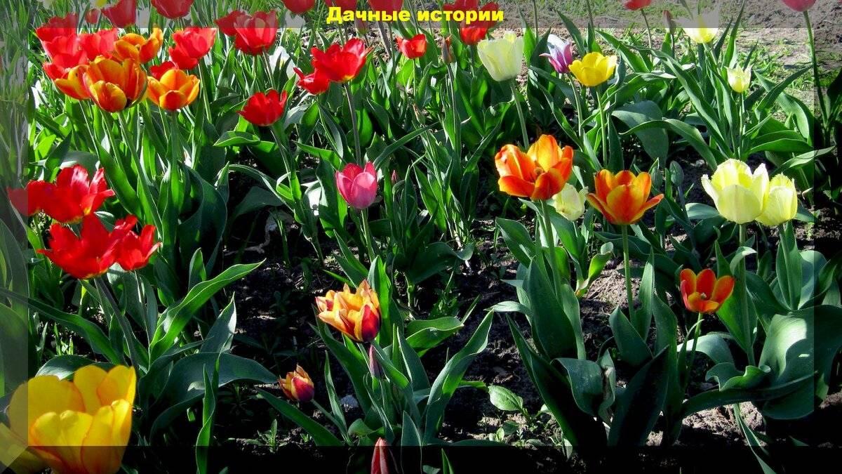 Садовые цветы  » почему у тюльпанов один лист