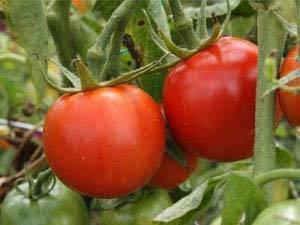 Томат джина - описание сорта, фото и выращивание дома
