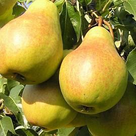 Самоплодные сорта груши