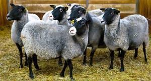 Бизнес-план по разведению овец на 100 голов