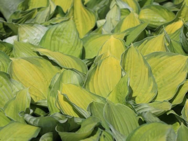 Хоста голд стандарт (gold standard): описание сорта, посадка и уход, выращивание, размножение