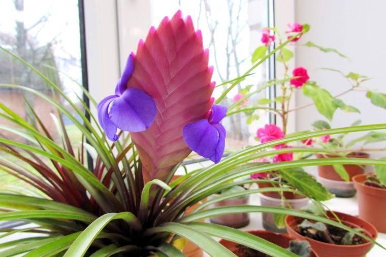 Тилландсия - уход в домашних условиях, фото цветка, размножение, полив, грунт