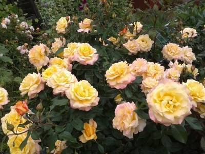 Роза глория дей - цветок, символизирующий мир