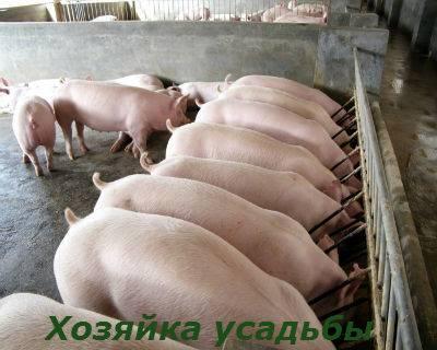 Правила откорма свиней