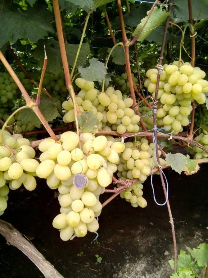 Сорт винограда лора, его описание, фото и отзывы