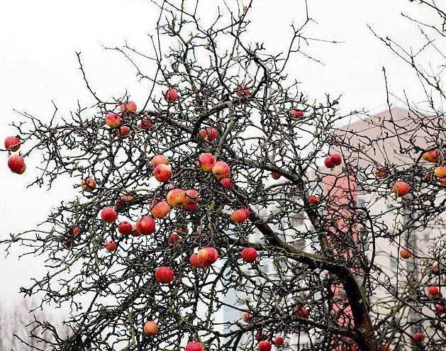 Особенности посадки и ухода за яблоней сорта заветное