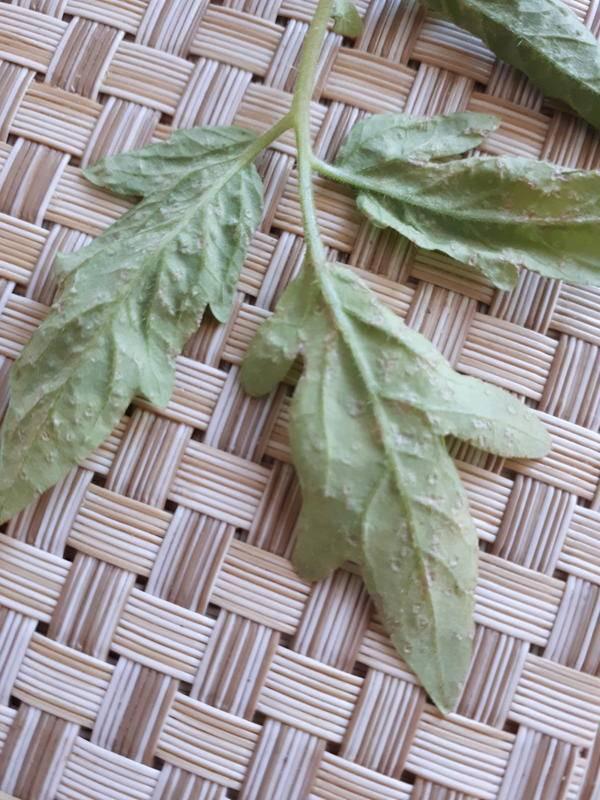 У рассады помидор на внутренней стороне листьев белые пятна
