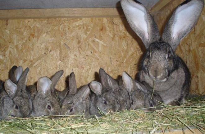 Почему крольчиха не рвет пух перед родами причины и окрол - дневник фермера ferma-lux.ru