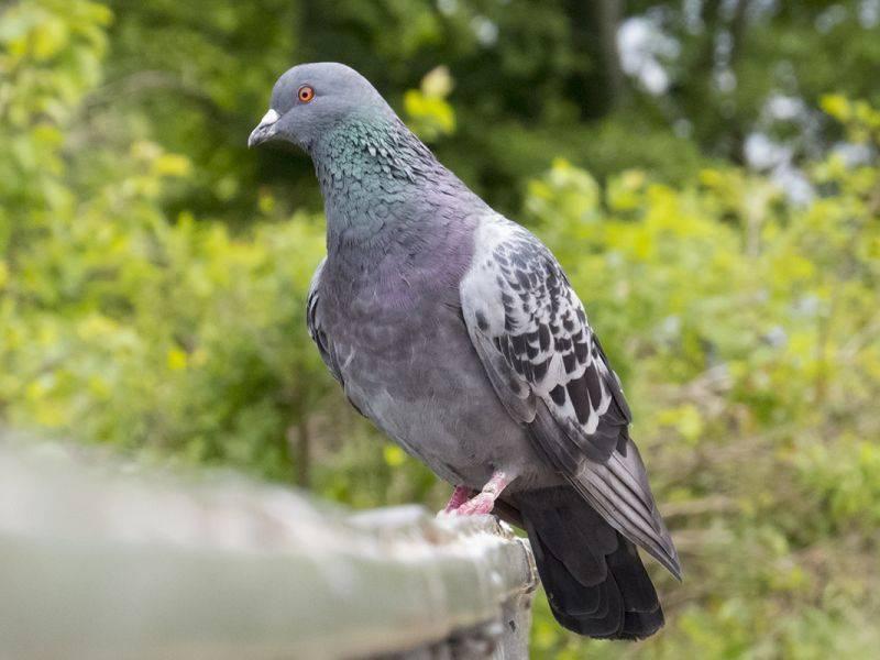 Сколько дней голуби высиживают яйца: как происходит яйцекладка, как часто голуби размножаются
