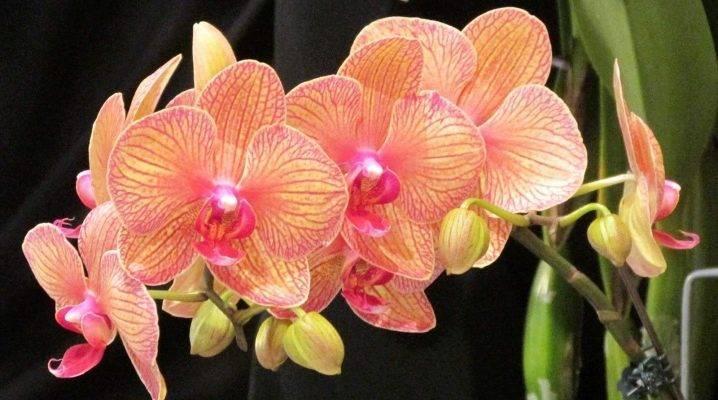 Что делать, чтобы орхидея зацвела снова и делала это круглый год, как заставить цвести и что нужно для повторного появления цветков, а также сорта растения