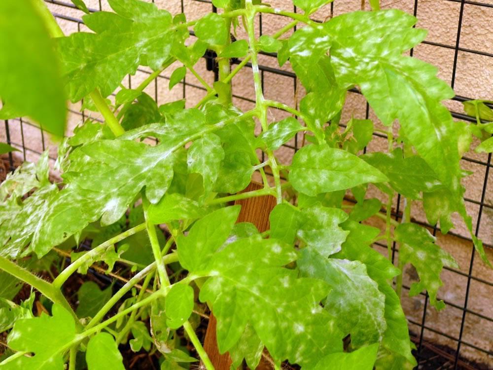Желтеет рассада помидор: что делать, основные причины пожелтения помидор