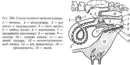 ᐉ остановка желудка у теленка: симптомы и как его запустить? - zooon.ru