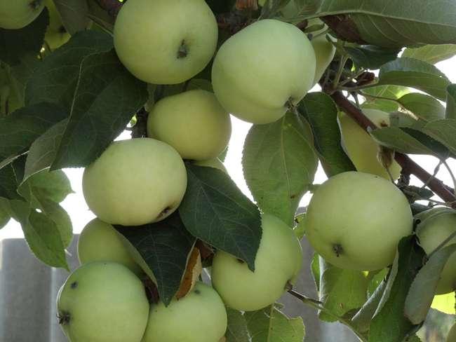 """Яблоня """"папировка"""": описание сорта, фото, отзывы"""