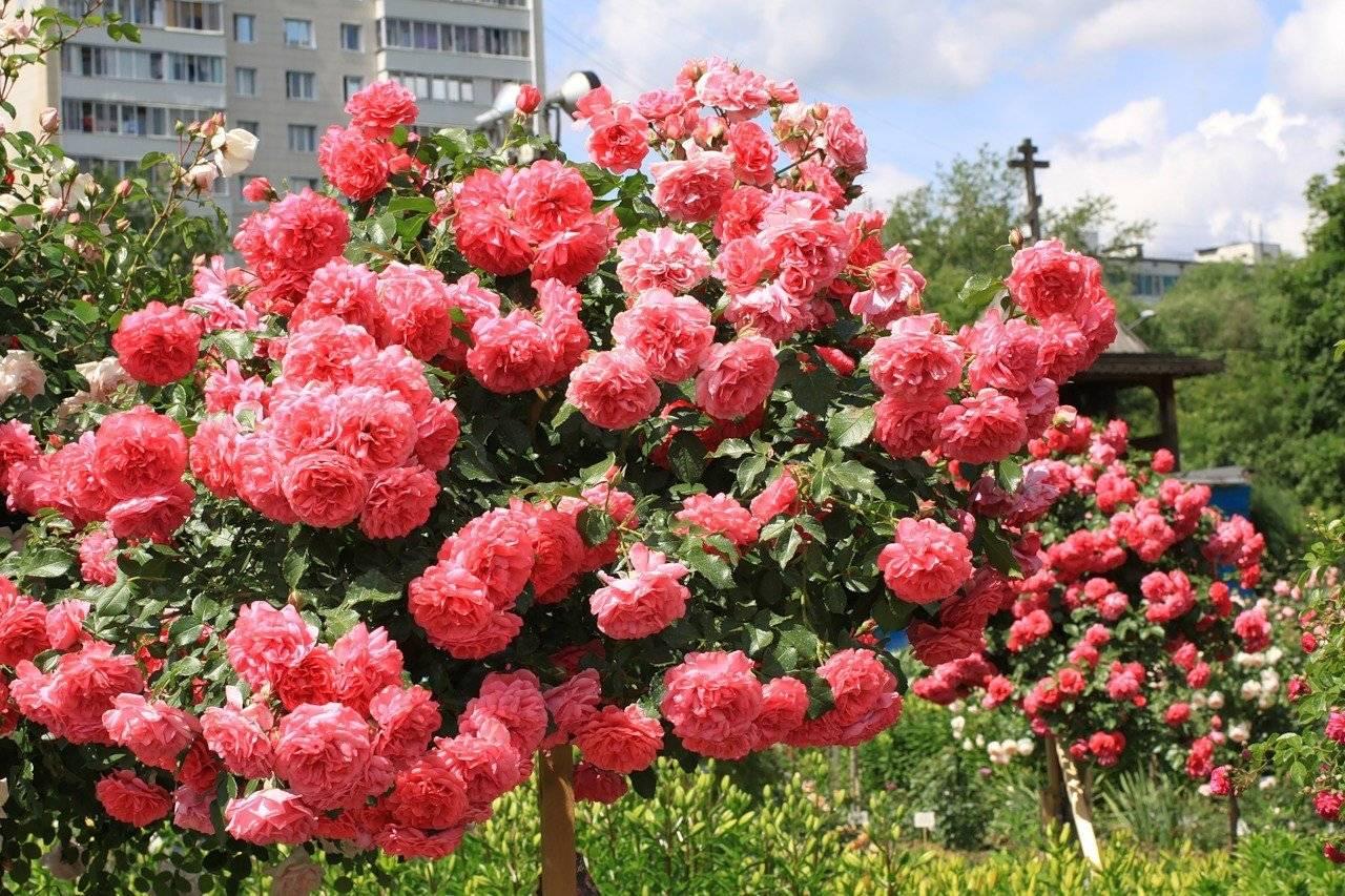 Как обрезать комнатную розу на зиму правильно после цветения