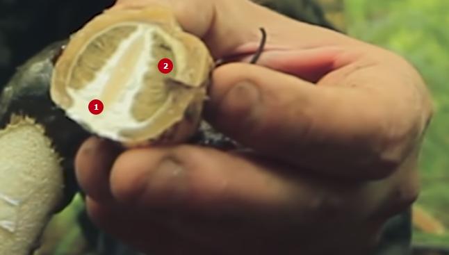 Как и когда собирать гриб веселка - agroflora.ru