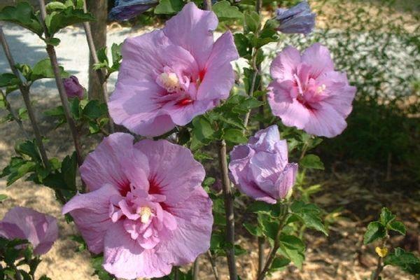 Гибискус краснолистный: выращивание из семян, уход selo.guru — интернет портал о сельском хозяйстве