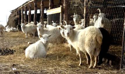 Сарай для коз – устройство козлятника и стойла своими руками