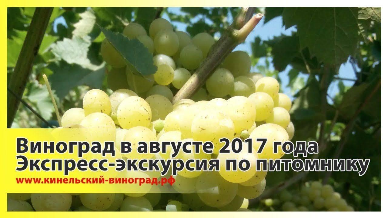 Кинельский виноград посадка и уход