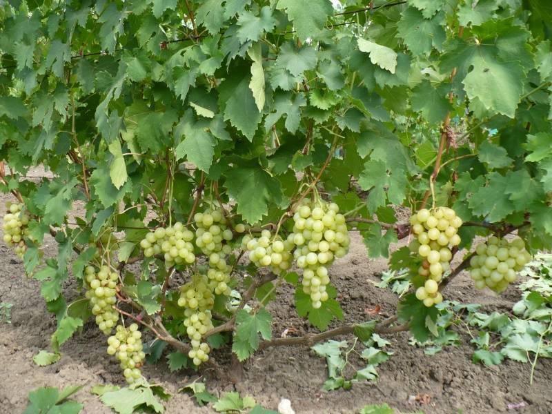 Виноград анюта: описание сорта с характеристикой и отзывами, особенности посадки и выращивания, фото