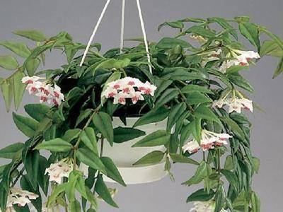 Растение хойя (восковик), уход в домашних условиях, фото