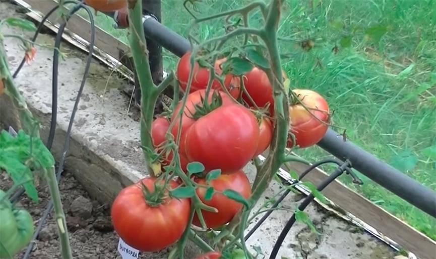 Урожайность томата «чудо земли» — как достичь максимума?