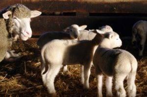 Как выпоить ягненка без овцы: схема кормления в домашних условиях