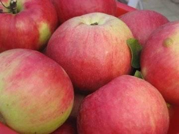 Особенности и достоинства яблони северный синап