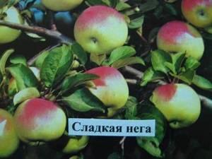 Яблоня сладкая нега: описание, фото, отзывы | tele4n.net