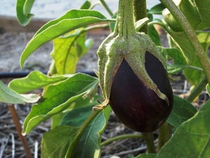 Баклажаны — выращивание и уход в теплице: все, что нужно знать