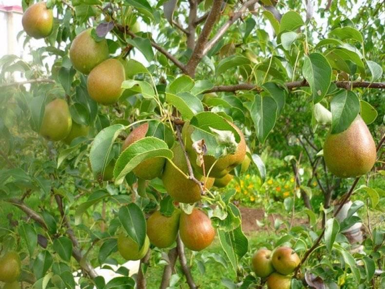 Когда и как посадить грушу правильно: пошаговое руководство для начинающих