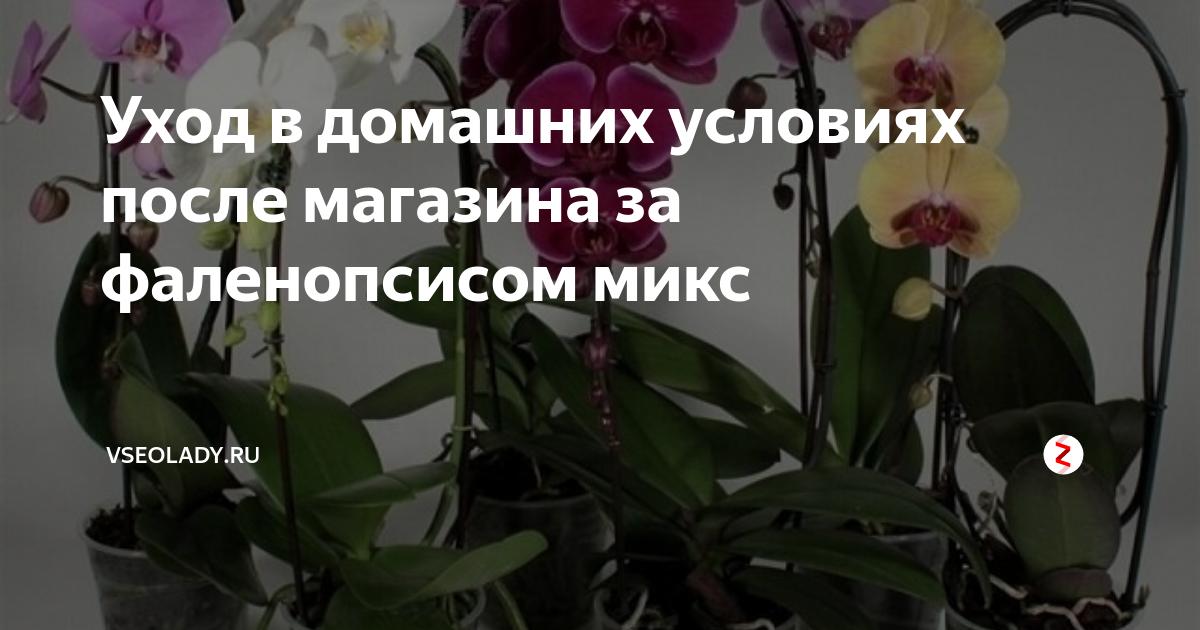 Нежные орхидеи мини: уход в домашних условиях