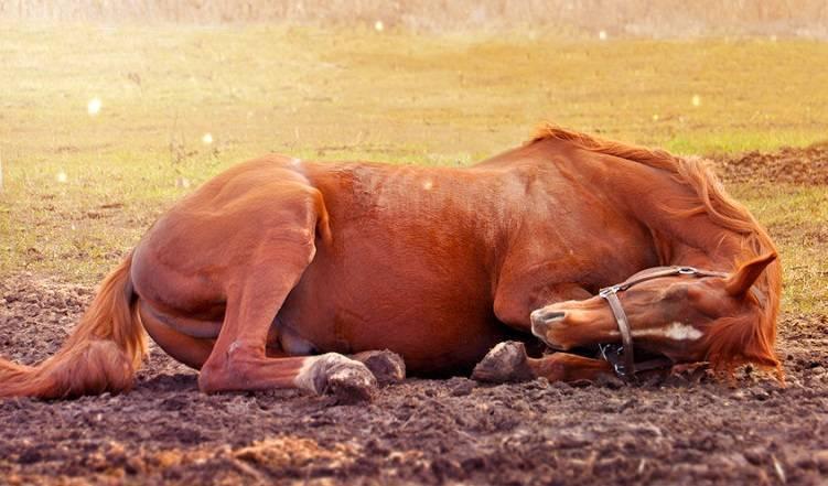 Как спят лошади: стоя или лежа, сколько длится отдых, оптимальные условия