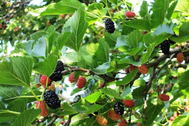 Шелковица — дерево, возвращающее молодость. выращивание, уход, размножение. фото — ботаничка.ru